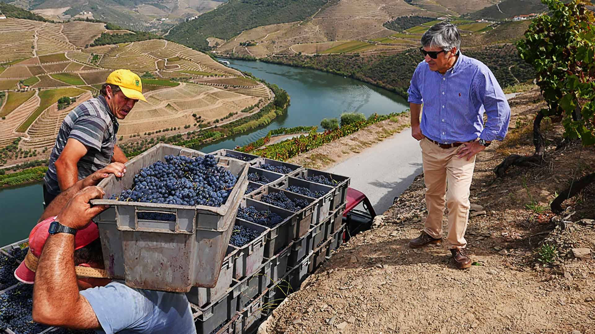 Harvesting the Grapes for Port wine