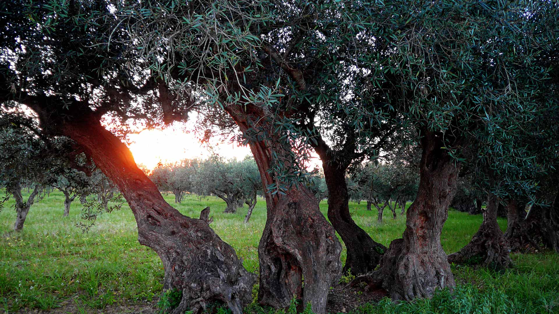 Old olive trees at sicilian Tenuta Regaleali