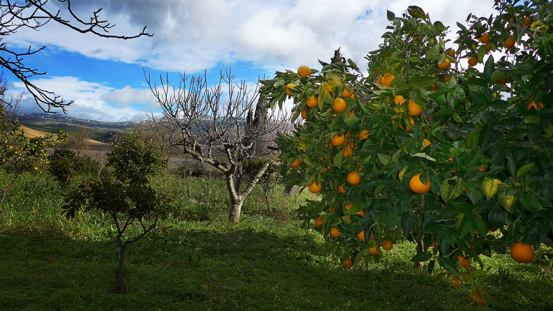 Orange trees in the vineyard of Tenuta Regaleali